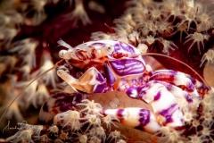 Porzellan-Krebs mit Eiern