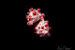 Zwerg-Seepferdchen